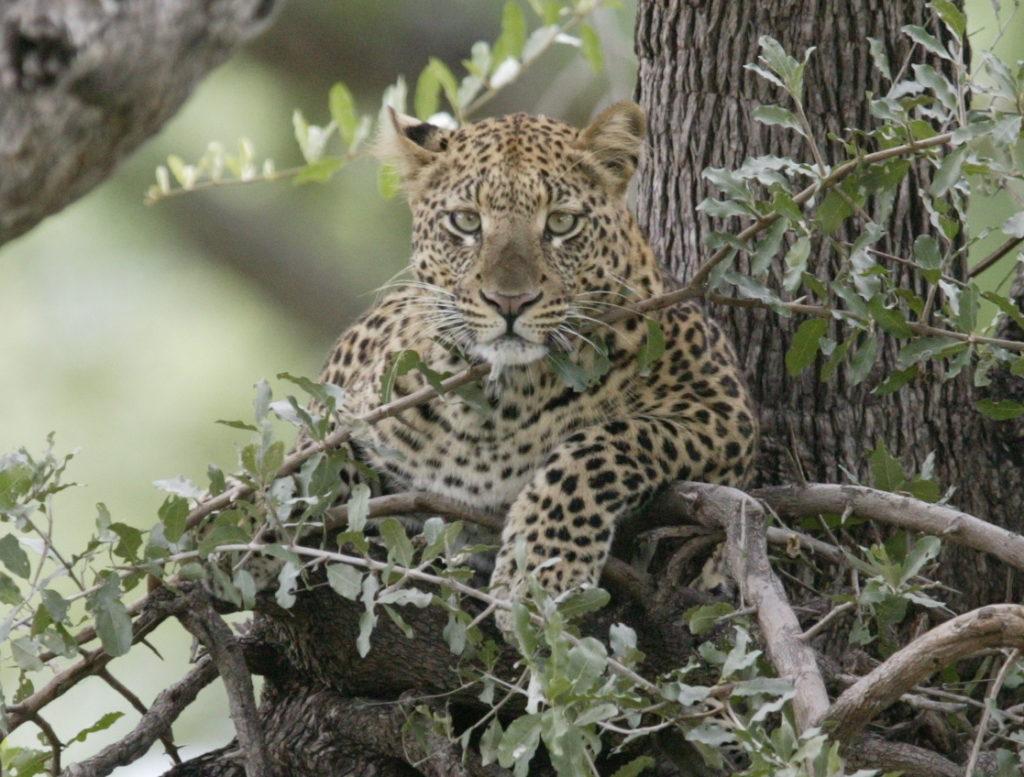 leopard.2